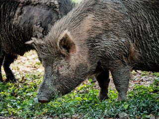 Couple of wild boar in nature.