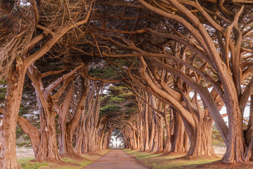 Cypress Tree Tunnel painted in golden light during sunrise. Point Reyes National Seashore, Marin County, California, USA.