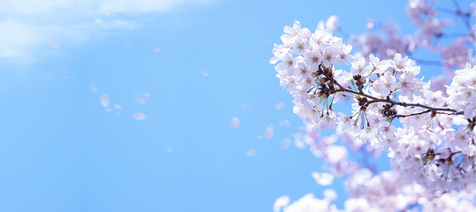 Foto op Plexiglas Kersenbloesem 青空に舞う満開の桜