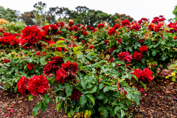 Red roses in Parnell Rose Gardens in Auckland, New Zealand.