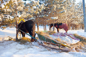 Horse pulling sleigh in winter . Old winter transport