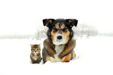 German Shepherd Dog and Grey and Orange Tabby Cat Kitten Friends Laying in Snow