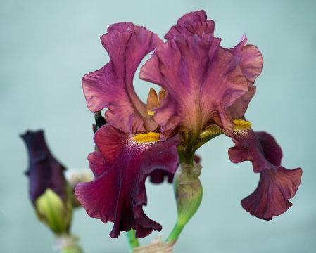Bright iris flower