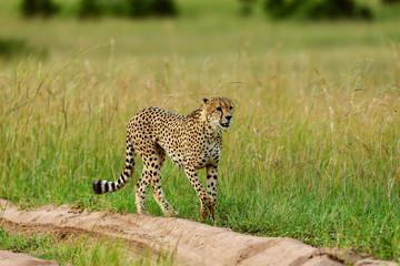 Cheetah, Acinonyx jubatus on a sandy road, Maasai Mara, Kenya, Africa.