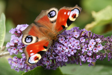 A stunning Peacock Butterfly (Aglais io) perched on a buddleia flower with its wings open nectaring.