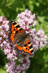 A beautiful Small Tortoiseshell Butterfly (Aglais urticae) nectaring on a flower with its wings open.