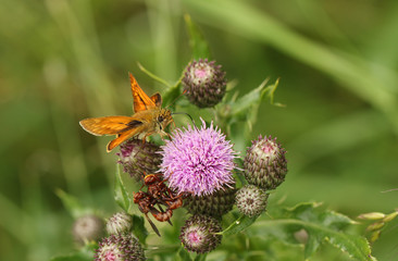 A Large Skipper Butterfly (Ochlodes sylvanus) perched on a thistle flower nectaring. Two other mating insects are also perched on the flower.