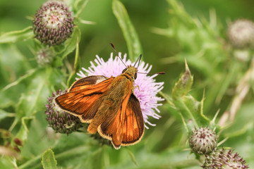 A Large Skipper Butterfly (Ochlodes sylvanus) perched on a thistle flower with its wings open nectaring.