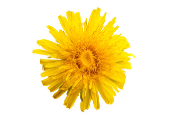 dandelion flower isolated