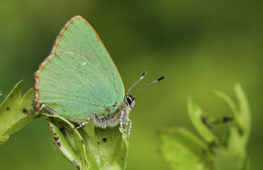 A stunning Green Hairstreak Butterfly (Callophrys rubi) perched on a hawthorn leaf.