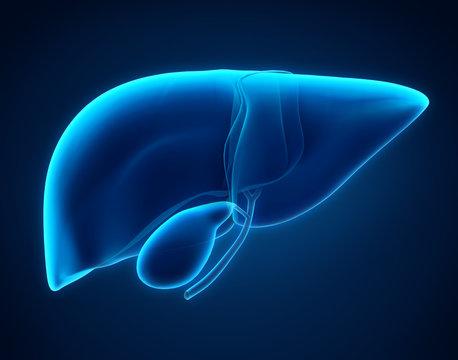 Liver and Gallbladder Anatomy