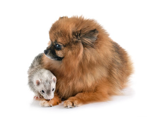 gray ferret and dog