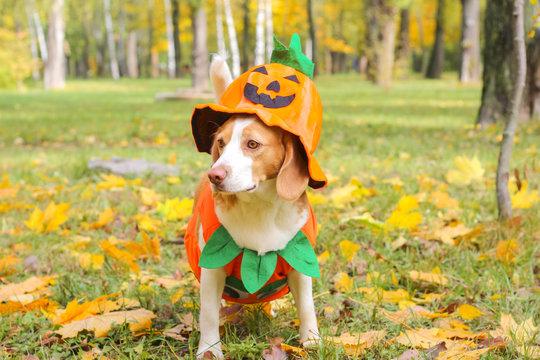 beagle in pumpkin costume