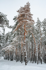 Snow covered trees in the winter forest.