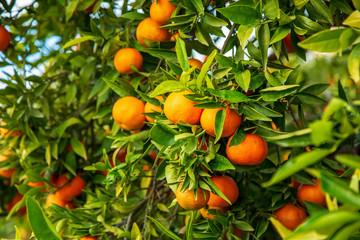 Omogen clementin på gren