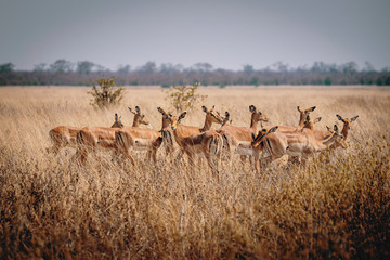 Group of Impala antelopes standing in the high grass of Chobe National Park, Botswana