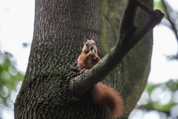 The squirrel eats a nut on the tree