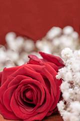 Gros plan sur une rose rouge pour la passion et fleurs blanches