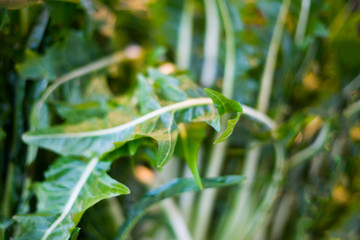 Dark green foliage of a healthy plant with leaves glistening. Low key, horizontal background or banner.