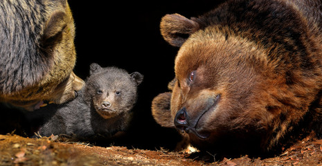 Fototapete - little brown bear and his mother