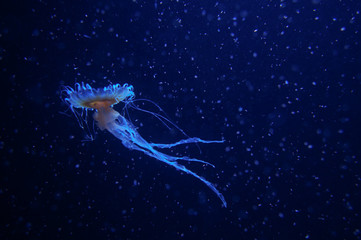 blue jellyfish world