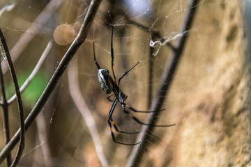 Big spider sits in the center of the web and waits for the victim