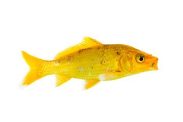Image of yellow koi fish on white background . Animal. Pet.