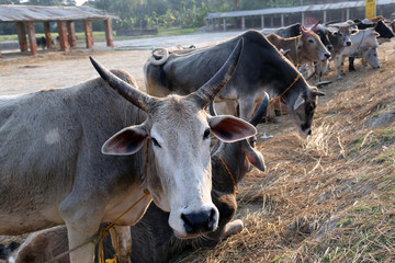 Group of cow resting in a field in village Kumrokhali, West Bengal, India