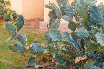 Prickly pear cactus (Opuntia) in the garden