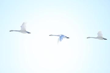 ハクチョウ Swans