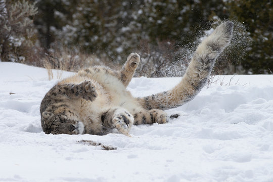 Rare, Endangered Snow Leopard rolling in the snow