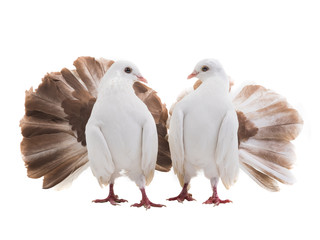 male and female dove peacock isolated