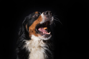 Bernese mountain dog catches a treats on black background Wall mural