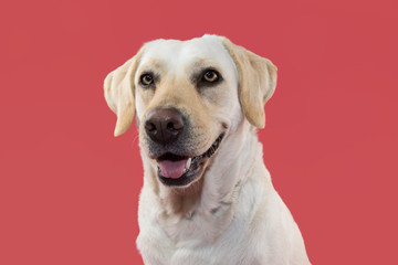 PORTRAIT OF A  HAPPY LABRADOR RETRIEVER DOG. ISOLATED STUDIO SHOT AGAINST CORAL BACKGROUND.
