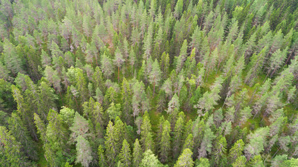 Aerial  view of  green fir trees.