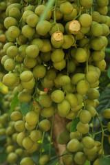 Burmese Grape green at garden