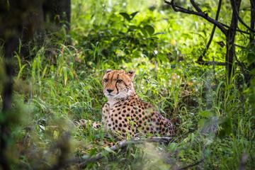 Cheetah walks through long grass in savannah Acinonyx jubatus