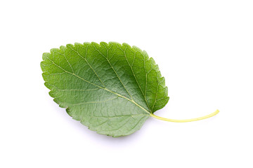 Mulberry leaf that is used as food for silkworm isolated on a white background