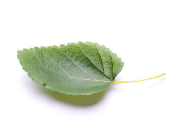 Mulberry leaf isolated on a white background