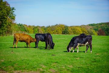 cows in a grassy field