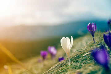 Close-up of one first spring flower bright white crocus blooming outdoors in dry grass on blurred colorful green and golden blue sunny copy space background.