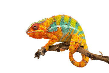 Poster Kameleon Yellow blue lizard Panther chameleon isolated on white background