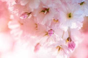 beautiful closeup sakura flowers. natural background. picture with soft focus