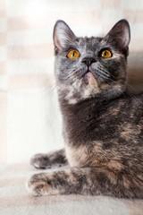 British cat on a sofa
