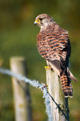 Wall Mural - Wild Female Kestrel