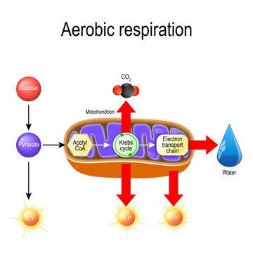 Aerobic respiration. Cellular respiration