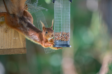 Wall Mural - UK Wild Red Squirrel