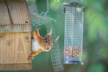 Fototapete - Feeding UK Wild Red Squirrel
