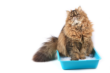 cat sits in a tray with a filler isolated on white background. Persian cat