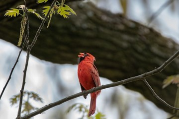 Red Cardinal Chirping in Tree
